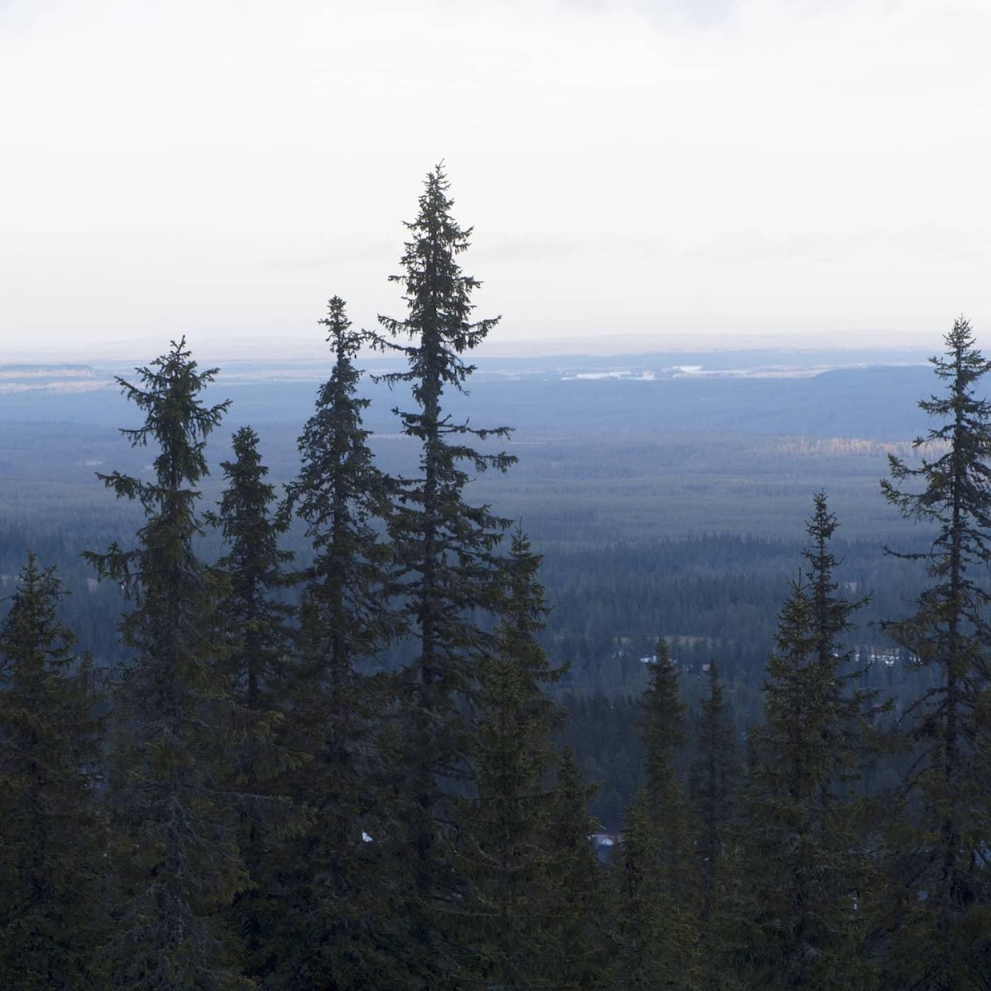 Granskogsfolket svenskarna