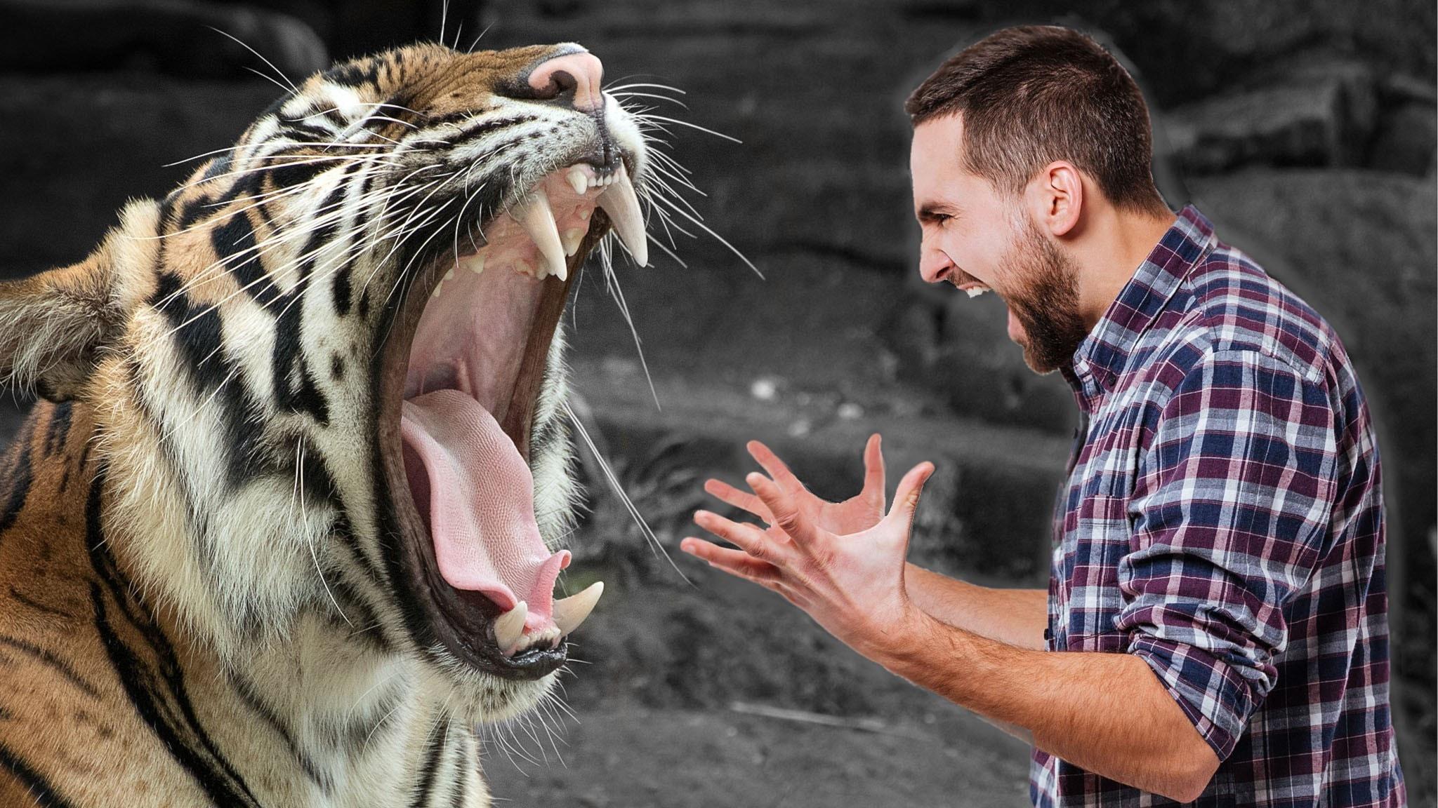 Tiger som vrålar och man som står bredvid och skriker.
