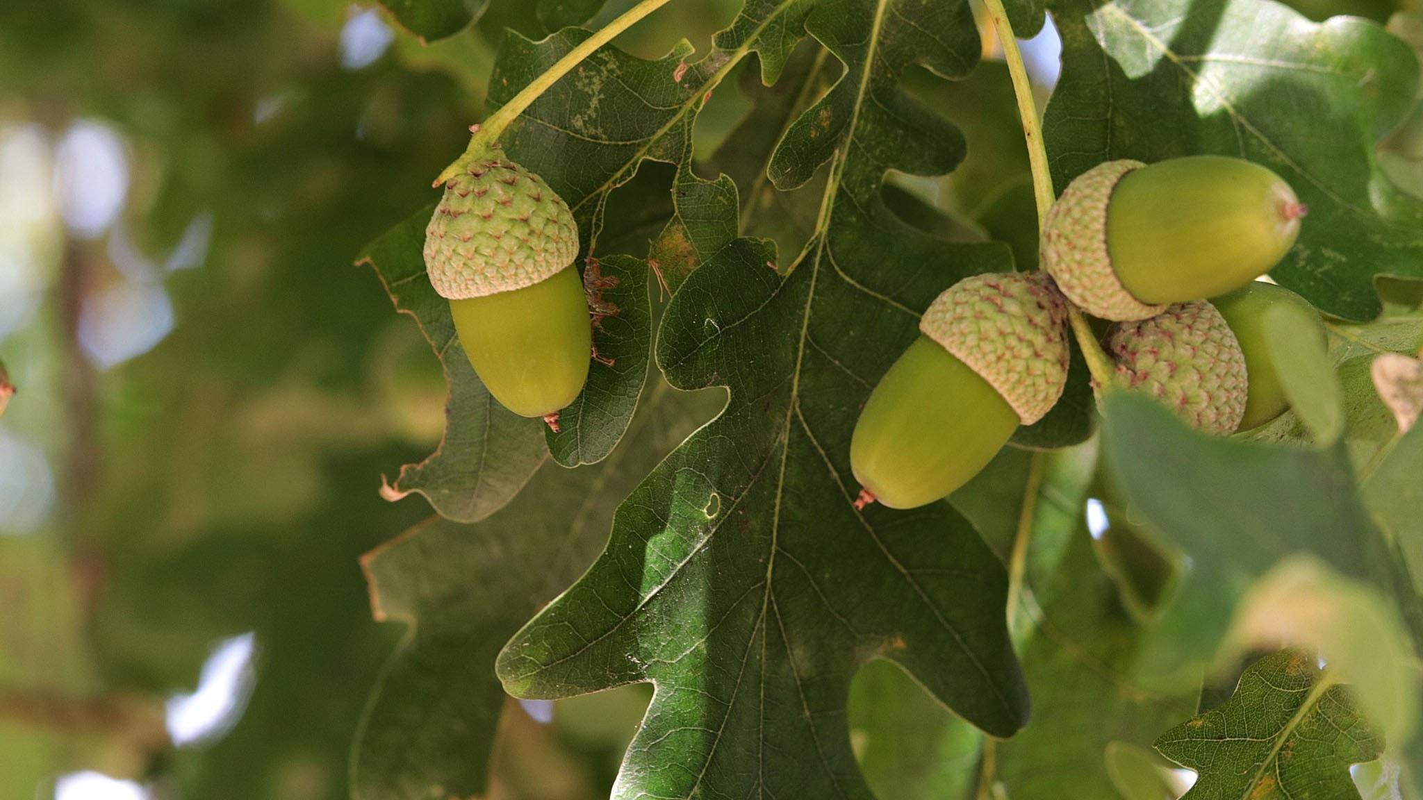 Bild på ekollon över ekblad.