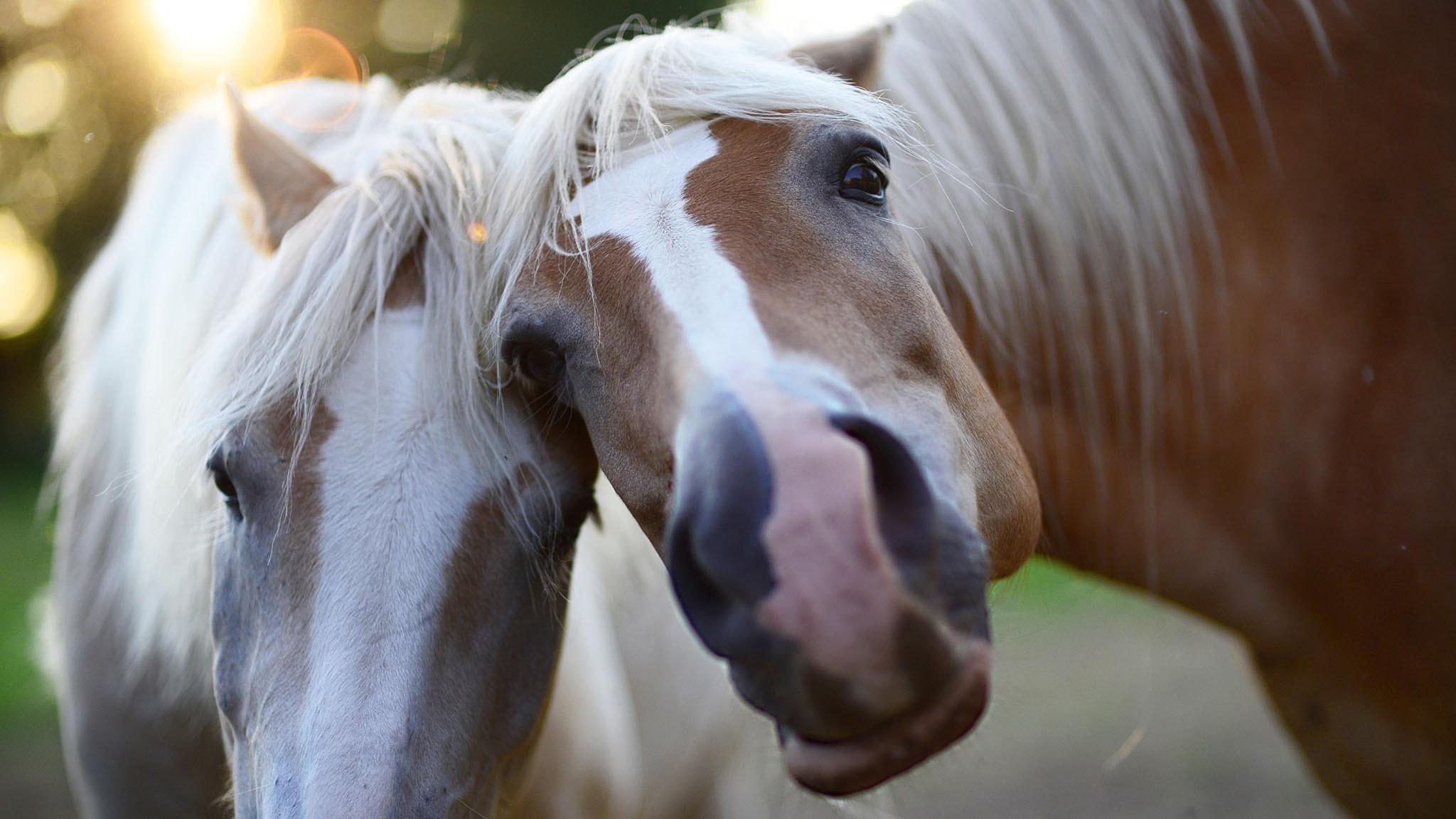 Två hästar i närbild.