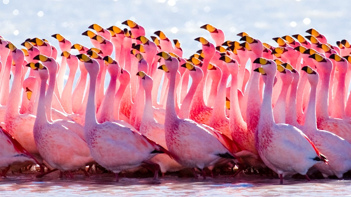 Flamingos under parningsrit. Foto: Pedros Szekely/wikimedia commons/http://bit.ly/1UzR1CX/CC BY 2.0