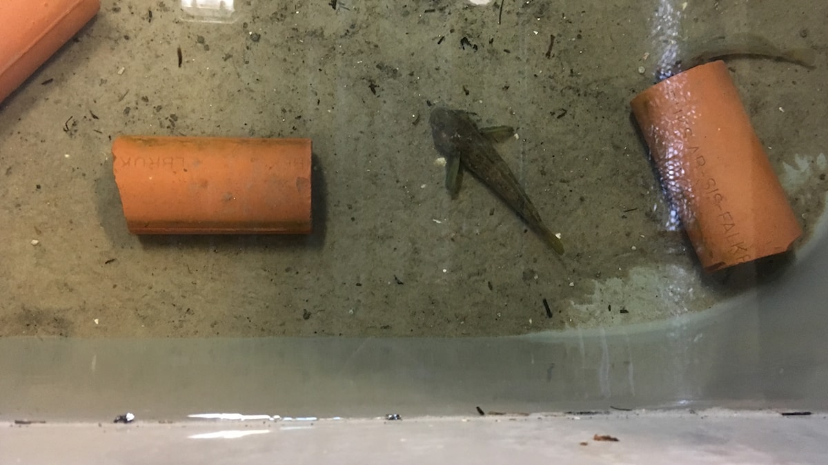 Smörbult, gråfärgad cirka 10 centimeter lång