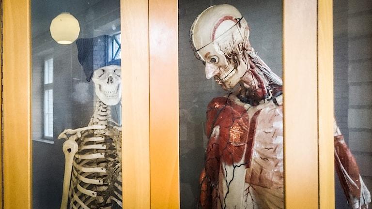 ett skelett och en plastmodell