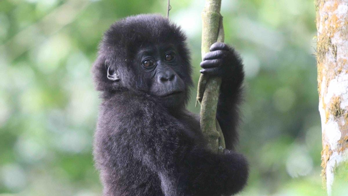 En gorillaunge klänger sig fast i en lian och tittar mot kameran, lite sammanbitet.