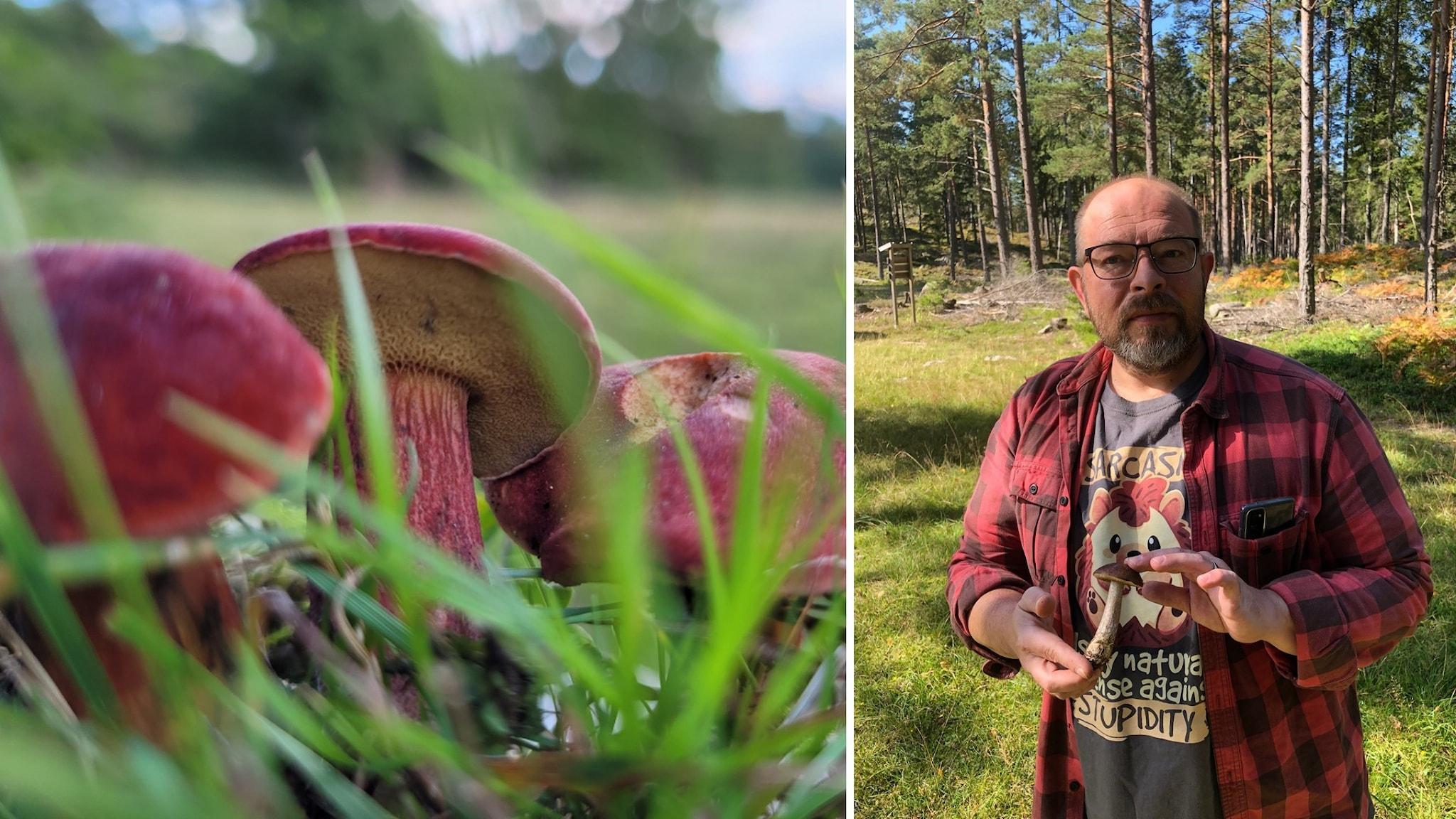 Bildmontage där bilden till vänster visar tre rödsoppar som sticker upp ur marken bland gröna grässtrån. På bilden till höger syns en man som står i en skogsglänta och håller en sopp.