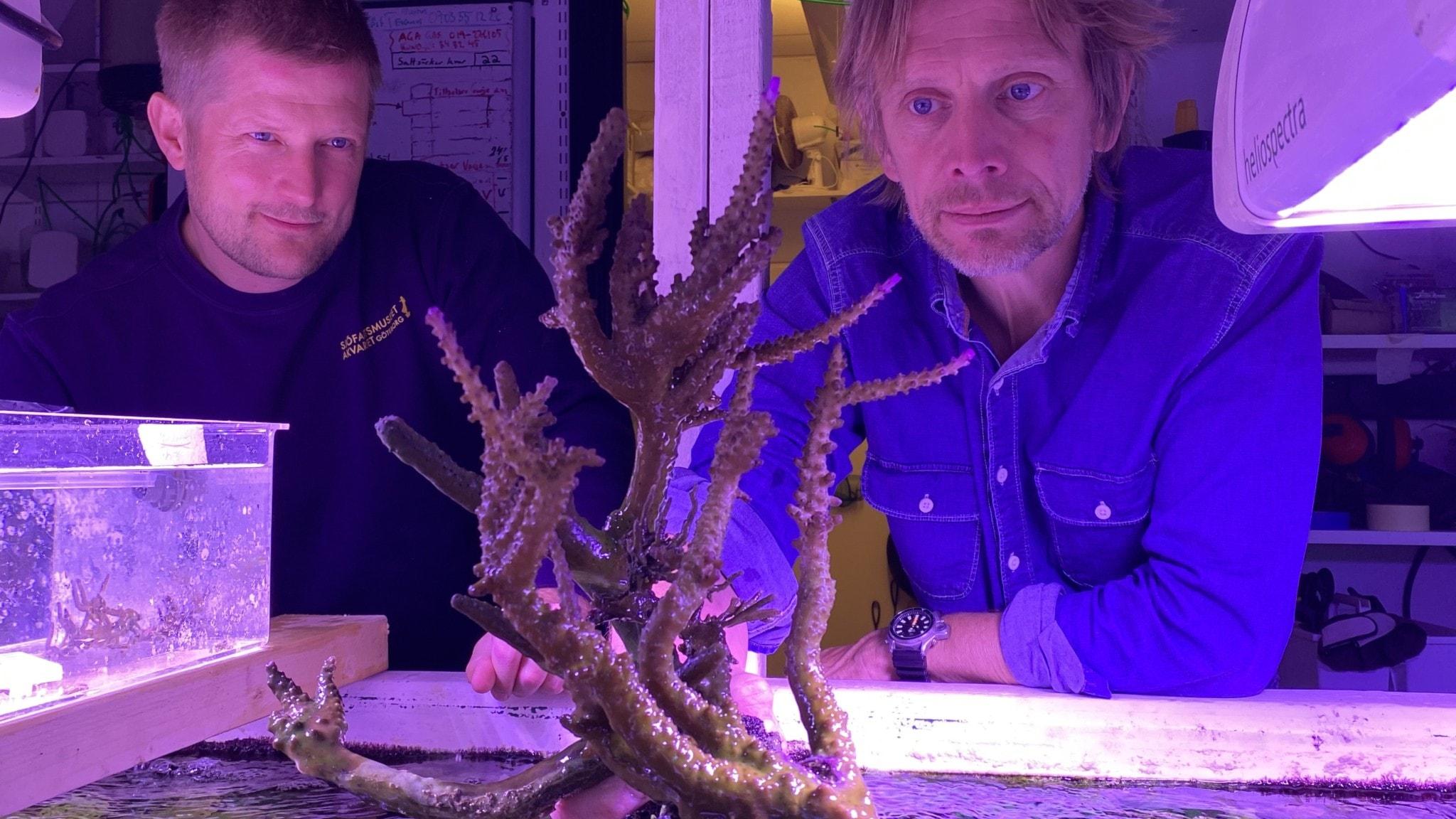 Två män i ett rosaaktigt ljus från speciallampor står vända mot kameran och tittar på en trädliknande korallformation som sticker upp ur ett akvarium.