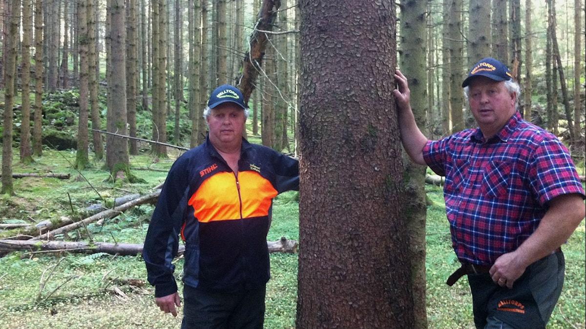 Anders Eriksson och Johannes Eriksson framför bred skogsstam.