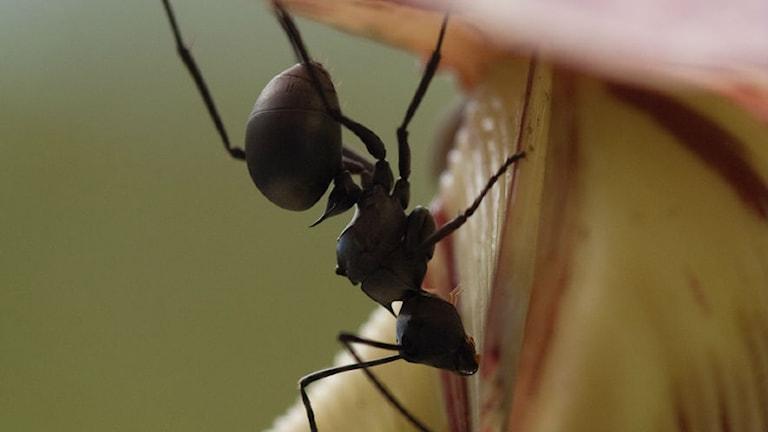 kannranka och insekt