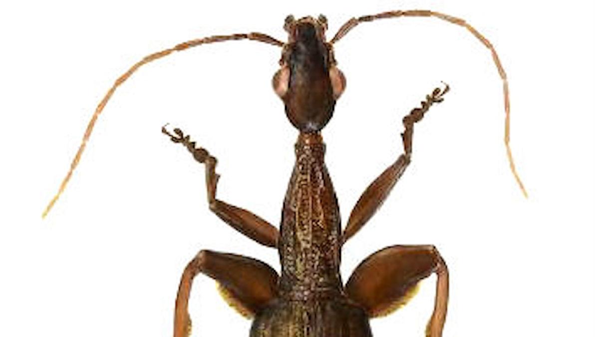 Insekten är brun med långa antenner från huvudet och tjocka mellanben.