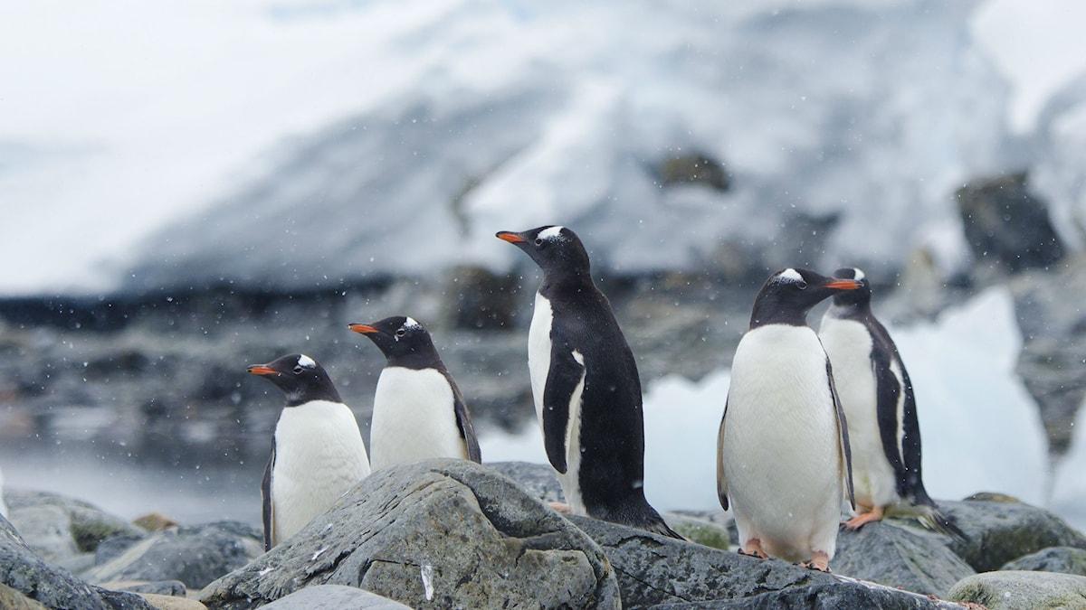 Gentoopingviner spanar tillsammans i Antarktis