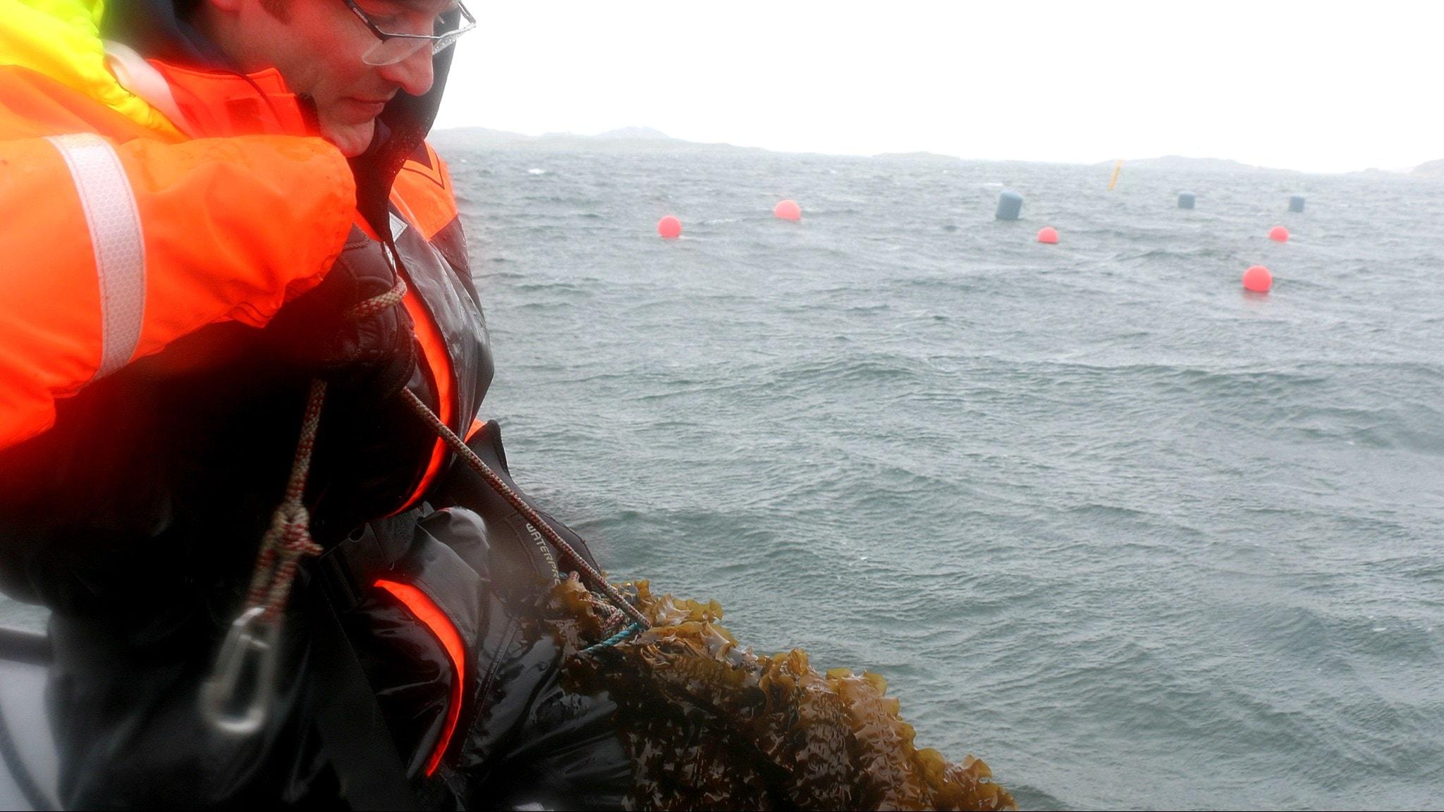 hav i bakgrunden, man halar rep med massa alger över reling