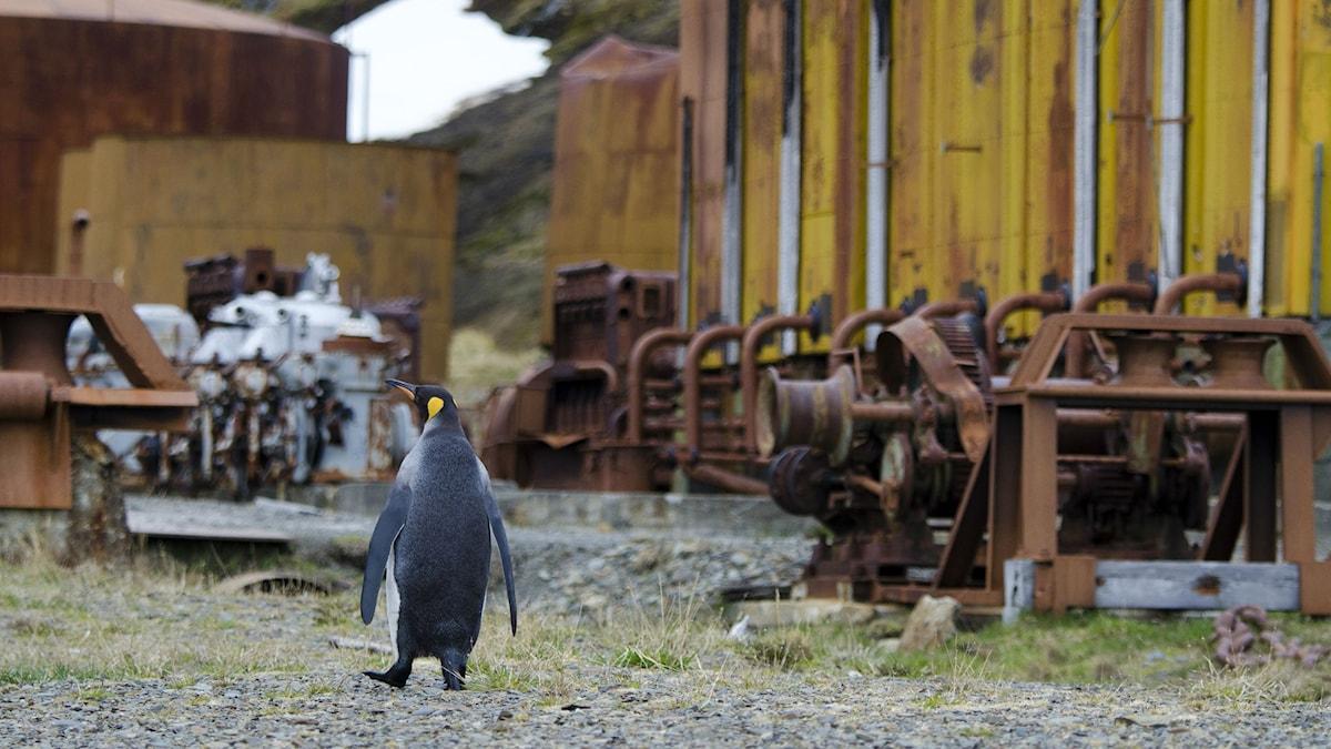Pingvin ser sig omkring bland rostiga skjul och maskiner