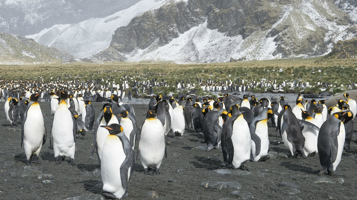 Stor grupp med pingviner. Foto: Thomas Öberg