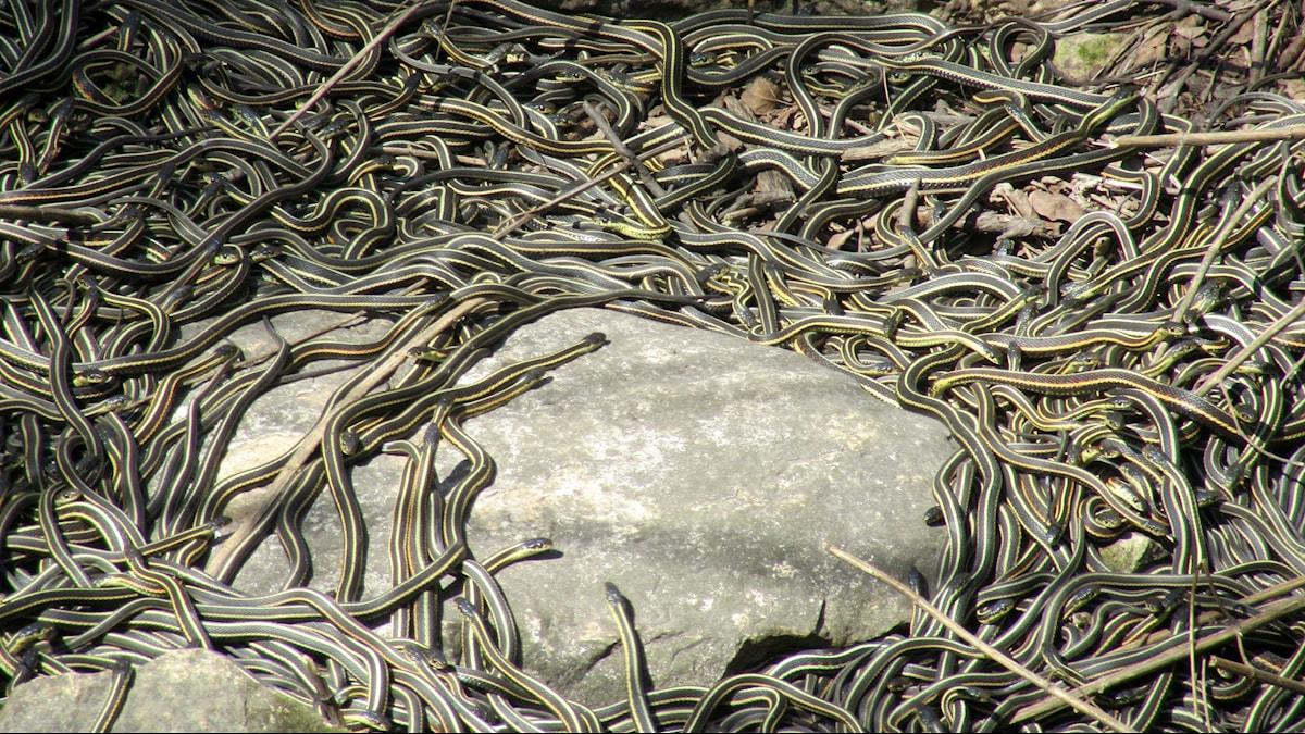 Snokar ringlar runt en sten