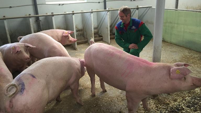 Kjell Morten Dahlgren och tre grisar. Foto: Johan Bergendorff/SR
