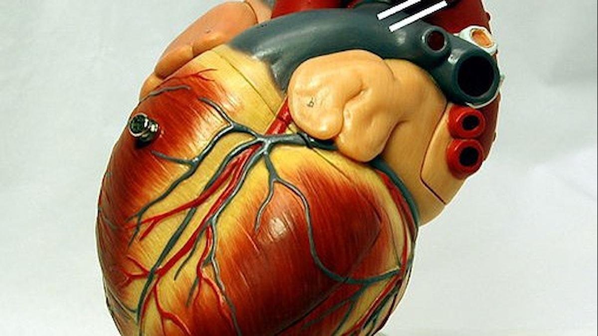 modell av ett hjärta