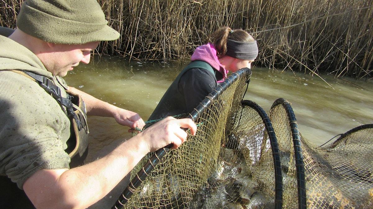 Petter Tibblin och Johanna Sunde letar efter gäddor att krama i en fiskfylld ryssja.