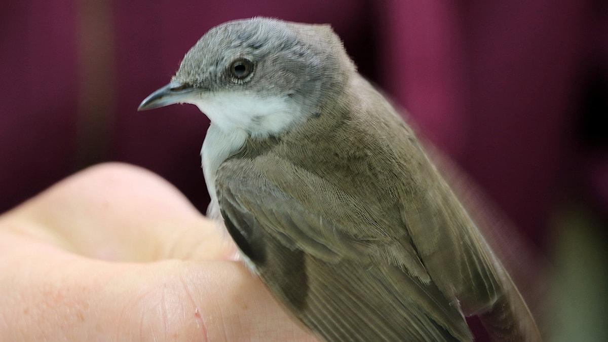 gråaktig fågel med vitt bröst