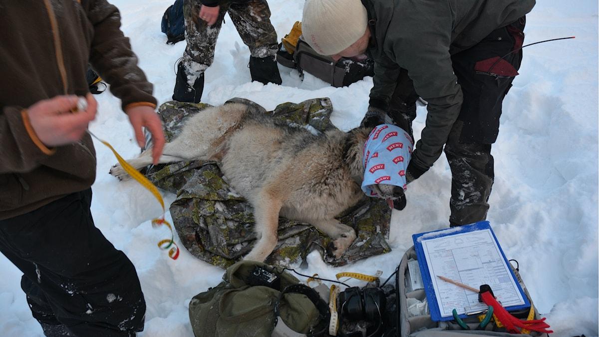 En sövd varg på en presenning i snön, med männniskor omkring.