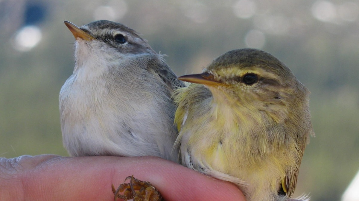 Två fåglar bredvid varandra, en grå och en gulgrön
