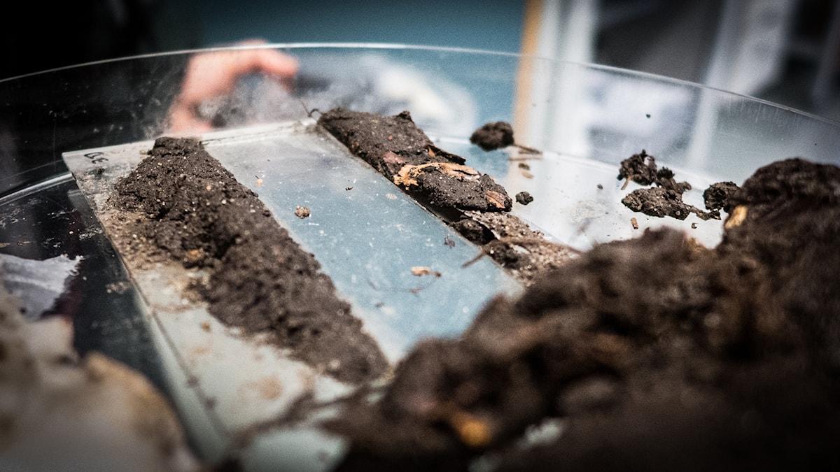 Ett mikrochip ligger på ett mikroskop, runt om ligger ganska mycket jord och lera.