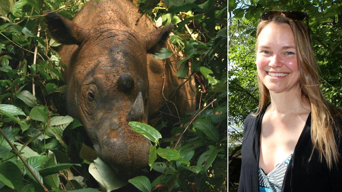 En sumatranoshörning som fotades 2008 i Sumatran Rhino Sanctuary. Samt Åsa Fahlman i Uppsala 2019.