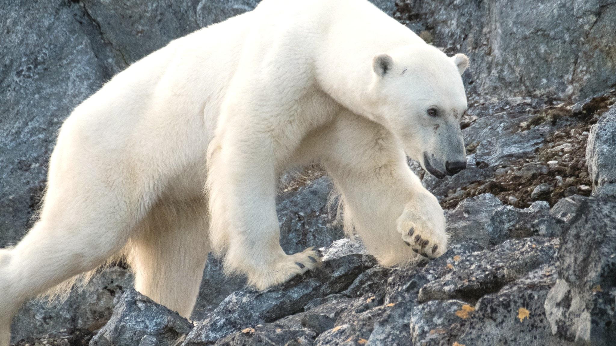 Del 2/3. Svalbard - Hur klarar isbjörnen ett varmare Arktis?