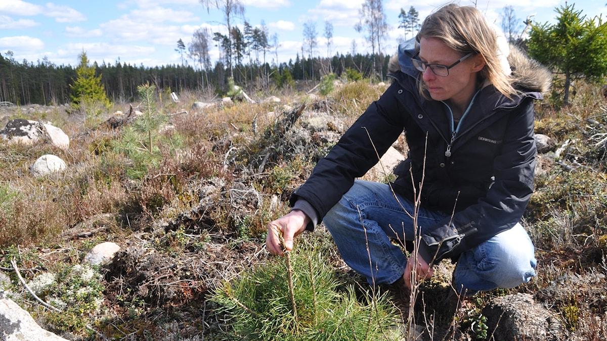 Annika Felton håller i en planta på ett kalhygge
