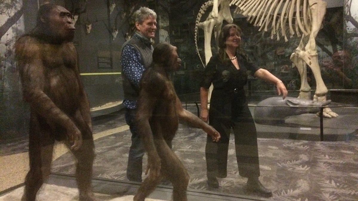 Bild på apor och utveckling mot människa.