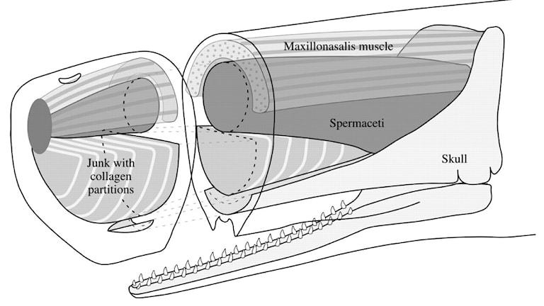 Spermacetiorgan i Kaskelothuvud. Bild: Clarke (1979), modifierad av David R Carrier (2002).