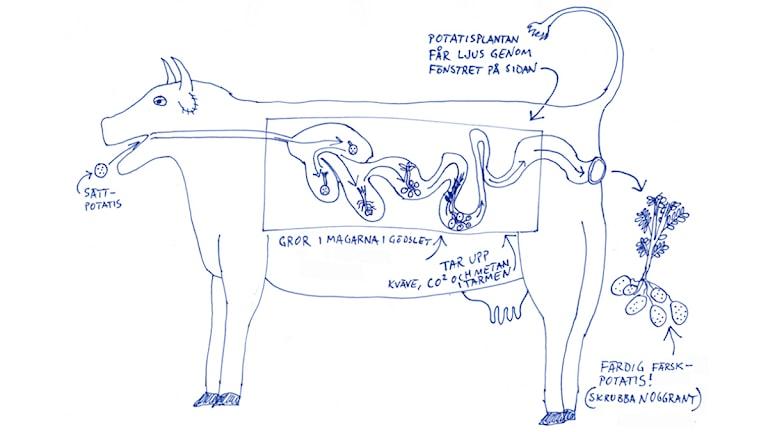Den genomskinliga kon. Bild: Jesper Rönndahl