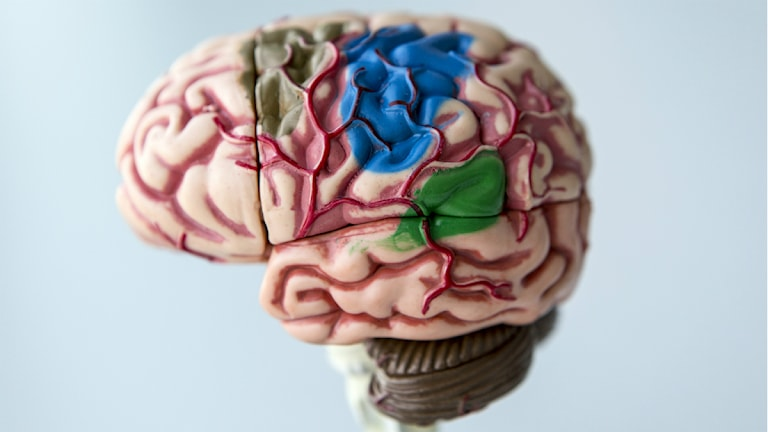 Hjärna. Foto: Christine Olsson/TT