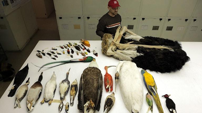 Några av de fågelarter vars arvsmassa har kartlagts i studien. Foto: AAAS/Carla Schaffer