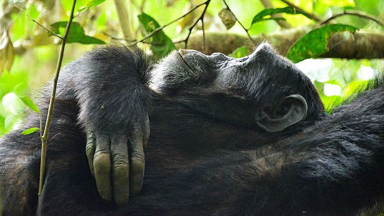 Schimpans vilar dagtid. Foto: Rod Waddington/Wikimedia CC SA 2.0