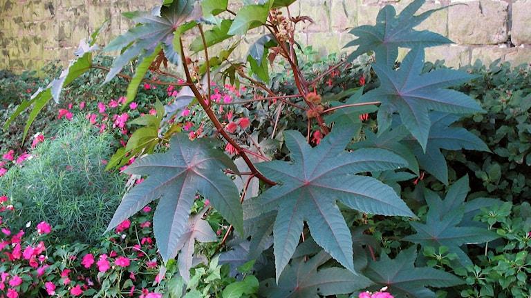 Ricinplantans frön är giftiga, trots det är växterna planterade i centrala Umeå.  Foto: Túrelio/Wikimedia Commons (CC)