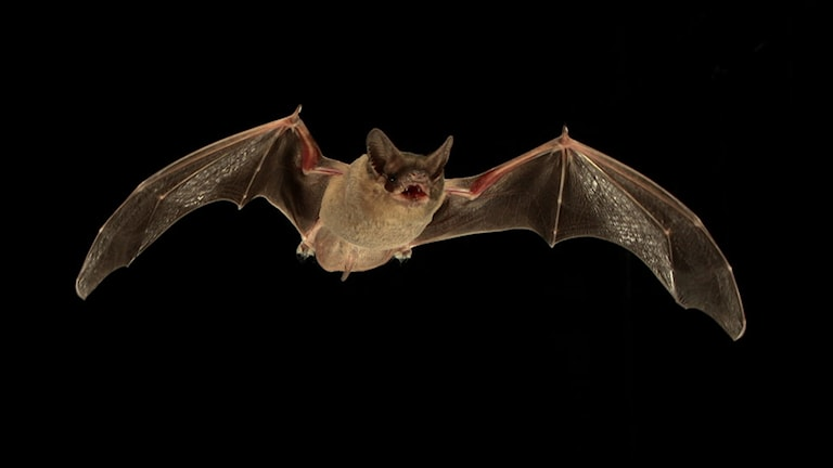 Fladdermus flyger om natten
