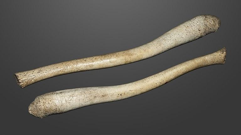 Två ben från valross, ser ut som långa betar