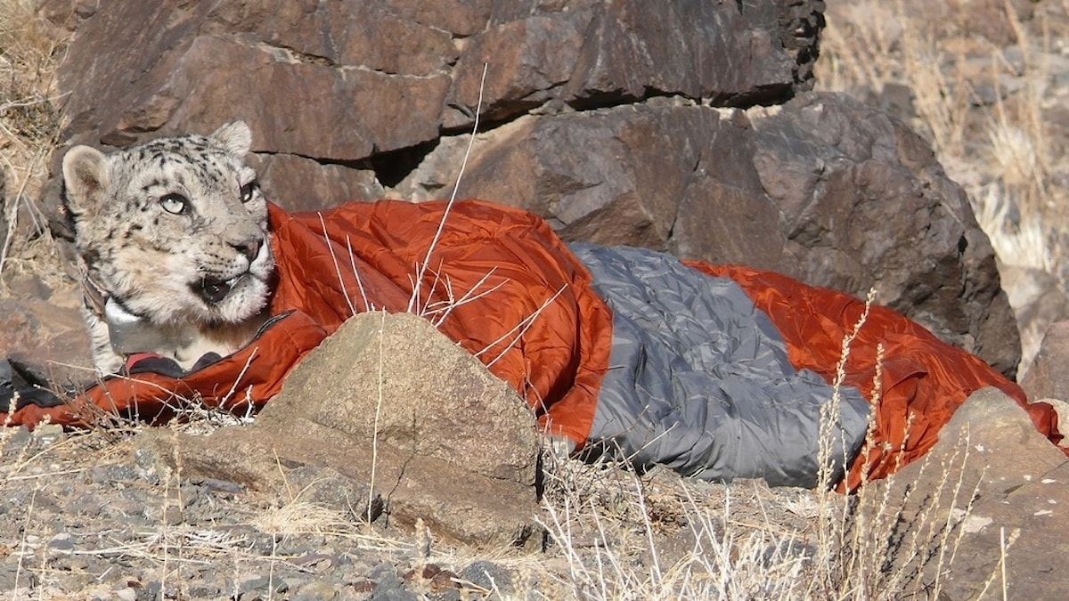 leopard i sovsäck