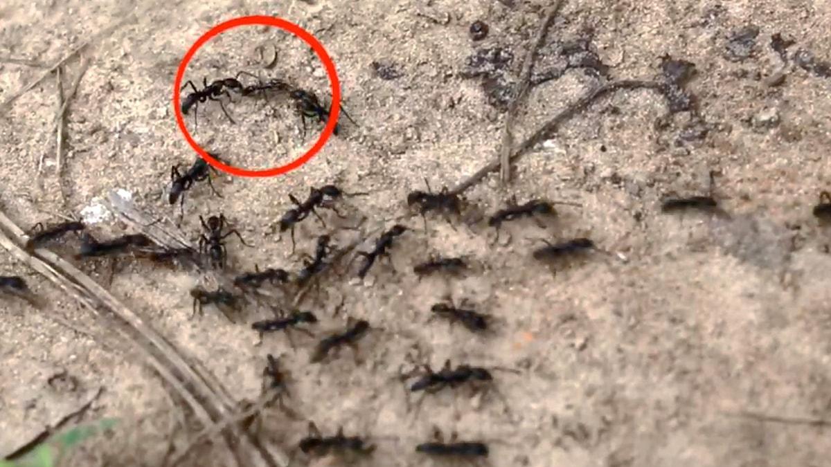 Svarta myror går förbi på ett led. I vänstra hörnet är tre myror inringade av en röd ring.