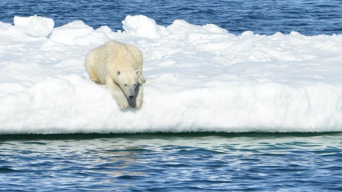 En isbjörn ligger på kanten av ett isflak och tittar ner i vattnet. Isflaket är smalt och omgivet av vatten.