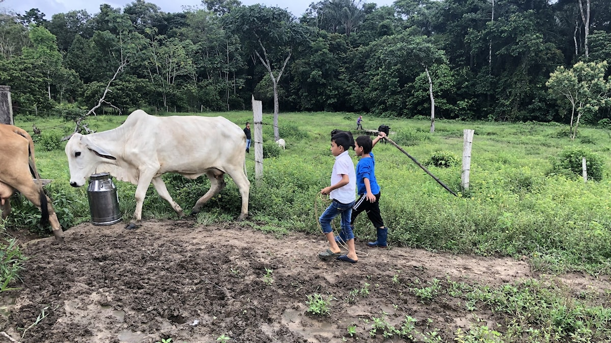 Barnen hjälper till att fösa in korna i stallet för mjölkning. Efter fredsavtalet 2016 lever bönderna i La Macarena på boskap istället för kokabuskar.