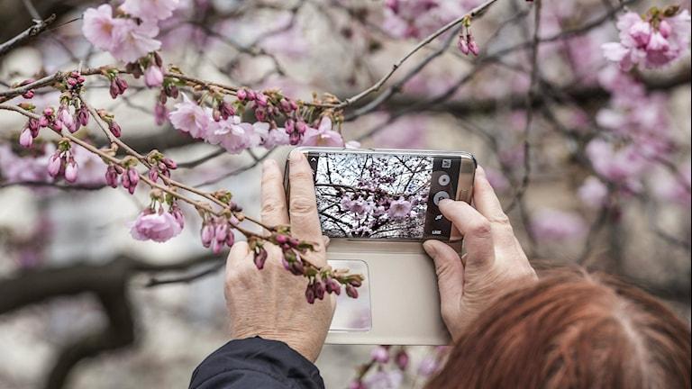 Blommande körsbärsträd fotograferas. Foto: TT