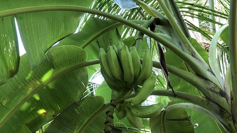 Banansorten Topocho, som i dagsläget inte exporteras utomlands.