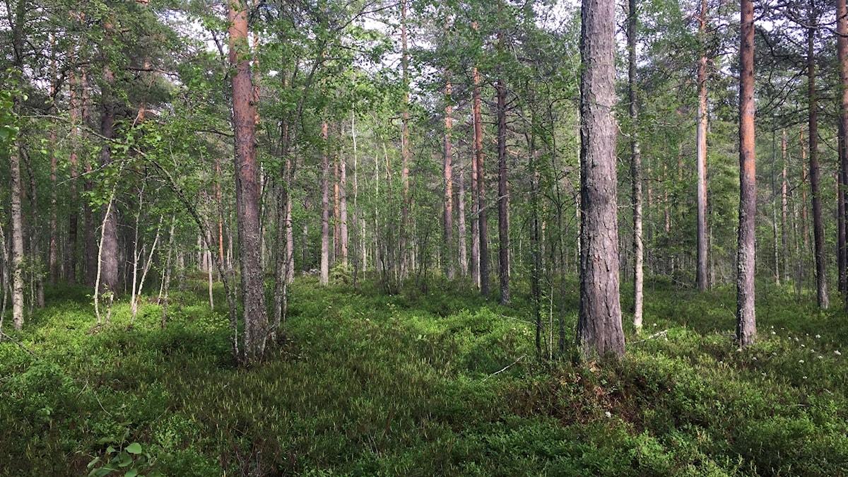 Skog i Luleå.
