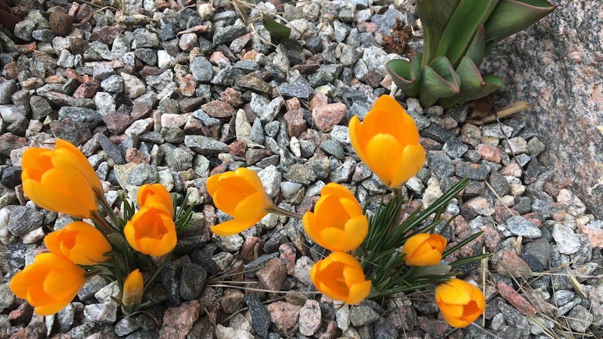 Kaikki kasvaa kohisten, kevään merkit puskevat esiin pihakivien alta