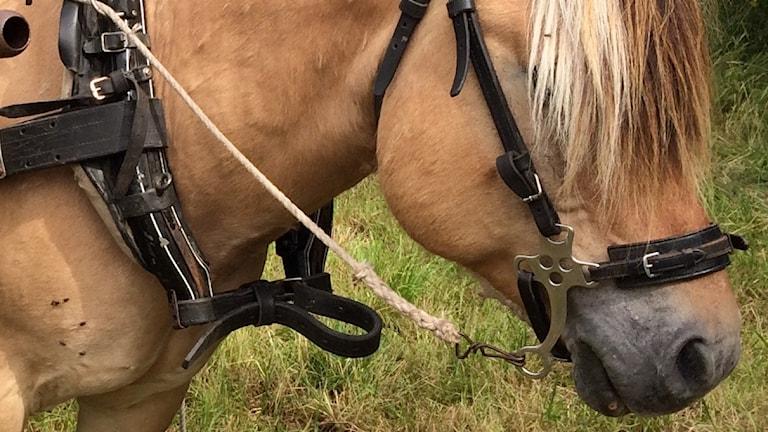 Hevonen valjaissa