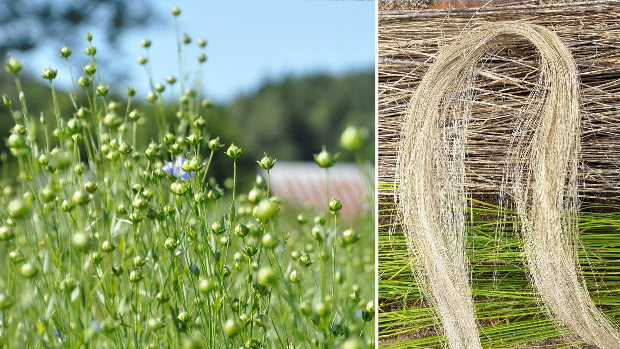 Blommande linåker och detalj av linfiber.