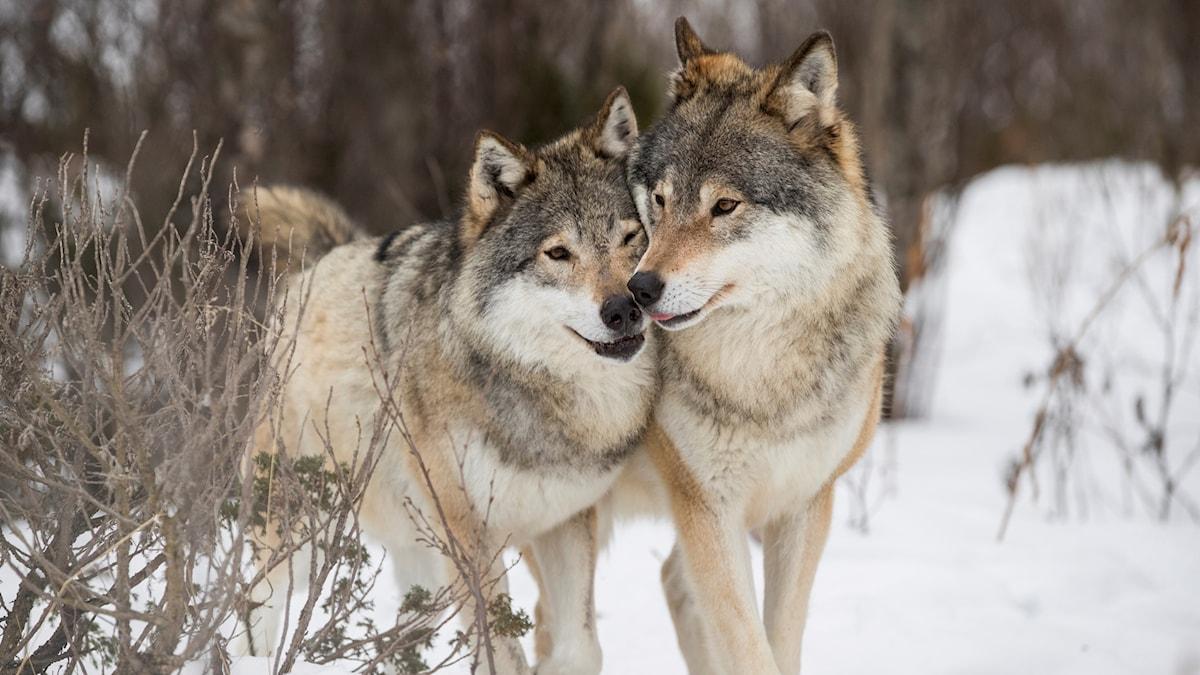 Två vargar i snö.