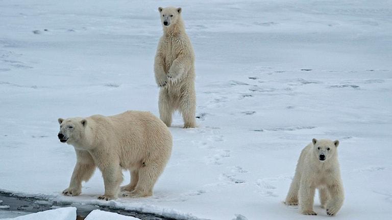 Tre isbjörnar på Svalbard.