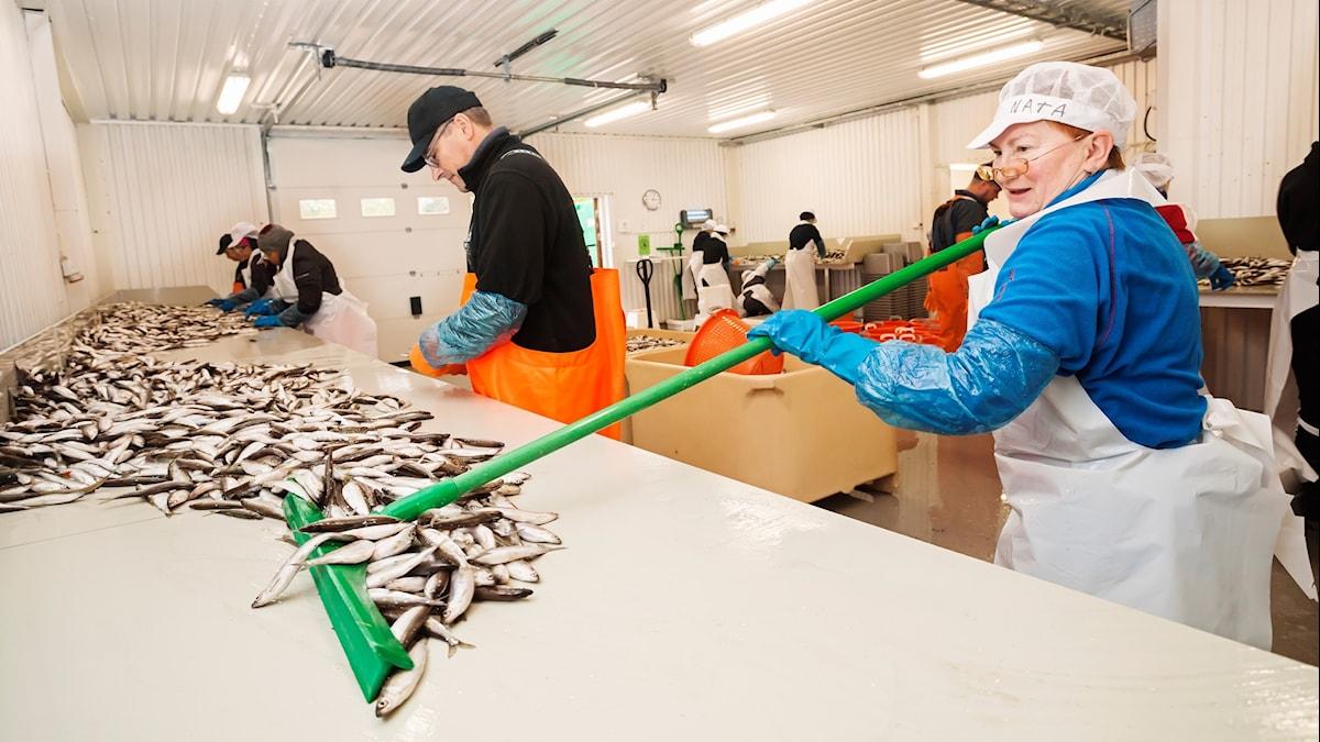 Löjromsfiske vid Storön utanför Kalix. Waldemar Brach och Natascha Fedotova gallrar siklöja.